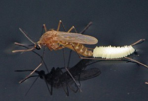 Mosquito Oviposition_B